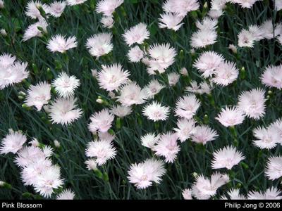 Pink Blossom 2006 Philip Jong